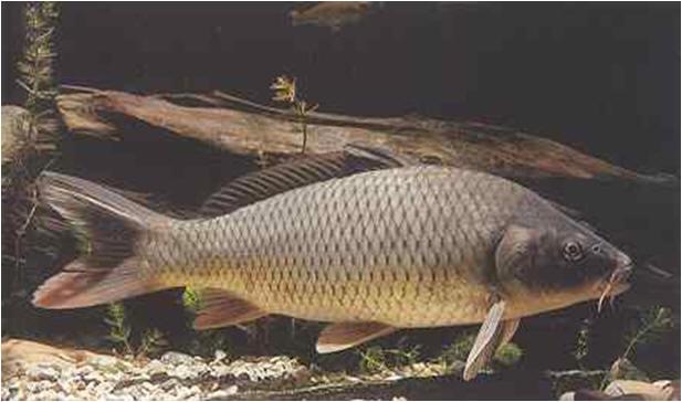 Carpa for Pesce pulitore acqua dolce fredda